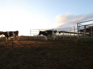 乳牛农场之旅