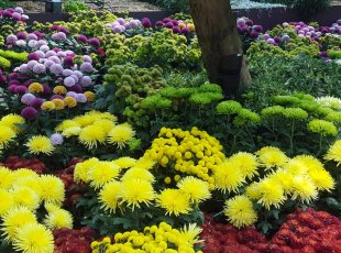 Waikato Chrysanthemum Society show