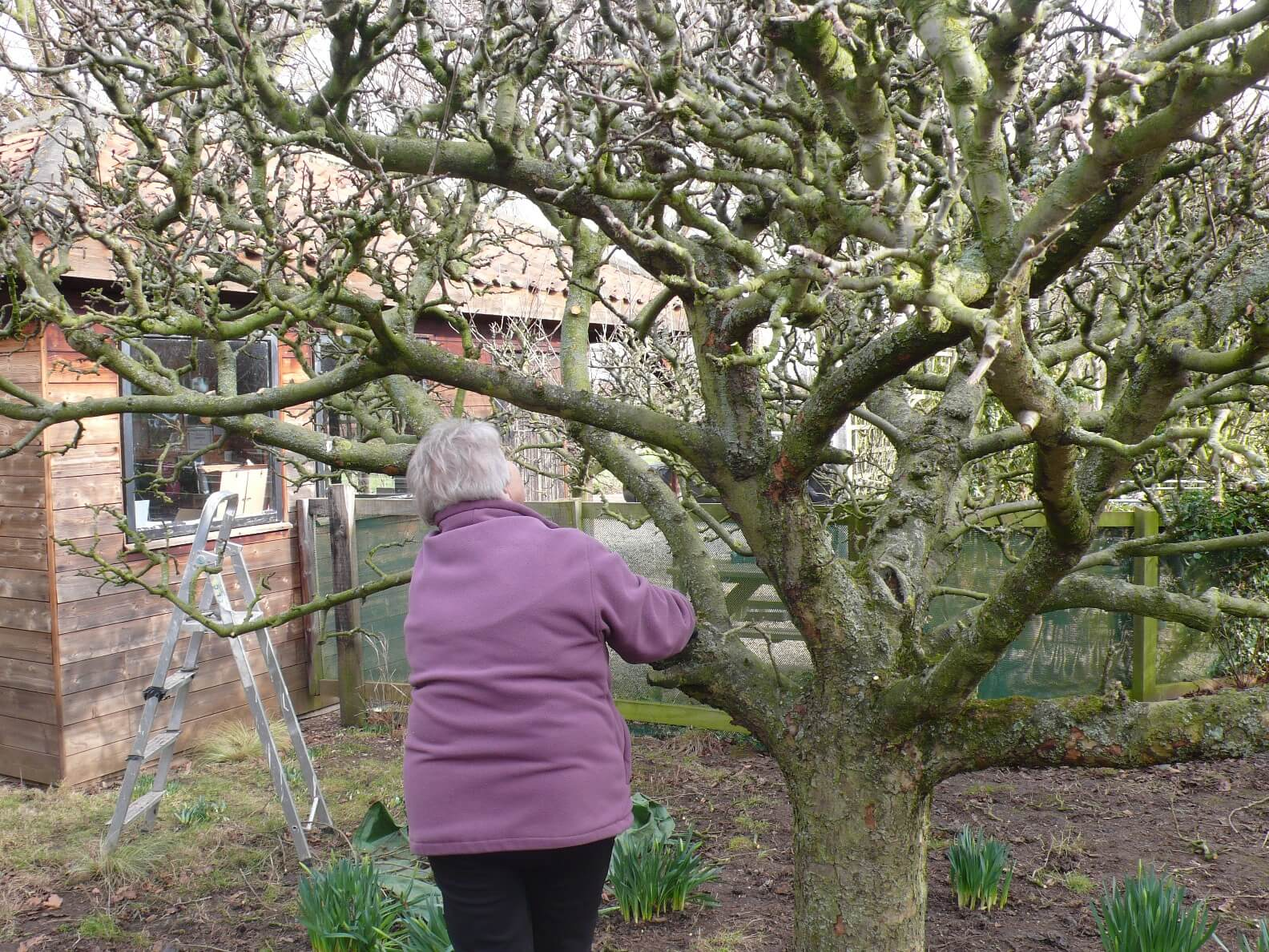 How to prune old apple trees