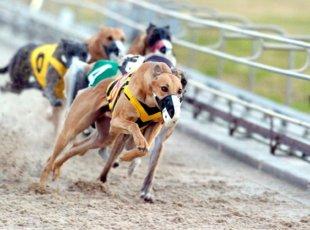 Greyhound Racing at Cambridge Raceway
