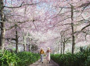 NZ Cherry Blossom Festival