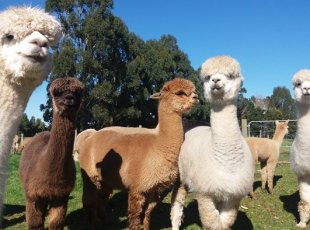 Cornerstone Alpaca Farm Tour