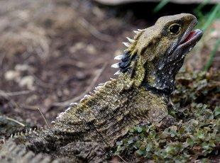 新西兰喙头蜥湿地探索 Sanctuary Mountain Wetlands